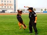 鄭州訓犬基地 鄭州訓犬學校 要訓犬找 訓犬幫