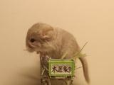 纯种粉白龙猫超级活泼可爱 包健康的