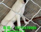 贵州杜高犬养殖场杜高幼犬价格 在贵阳哪里能买到纯种杜高犬