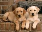 精品杜高幼犬、高端赛级大骨量双血、包活、带证书