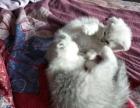有两只渐层猫出售,其中还有一只折耳