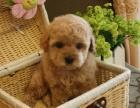 泰迪狗狗氣質高雅純種泰迪高貴品質優