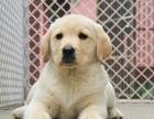成都本地繁殖精品拉布拉多幼犬 血统纯正 包健康