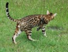 本地猫舍纯种孟加拉豹 猫带证疫苗三包送货上门