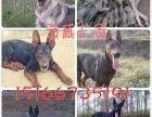 科目马犬幼犬杜高犬杜宾犬卡斯罗比特格力犬高加索支持