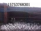 金昌出售自家养的观赏鸽肉鸽元宝鸽
