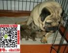 太原哪里有巴哥犬出售纯种健康的巴哥犬哪里有多少钱