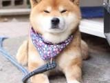 佛山哪里买柴犬比较好 佛山柴犬的价格 佛山柴犬多少钱