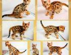 【真实家养】TICA赛级玫瑰纹孟加拉豹猫母金豹幼猫