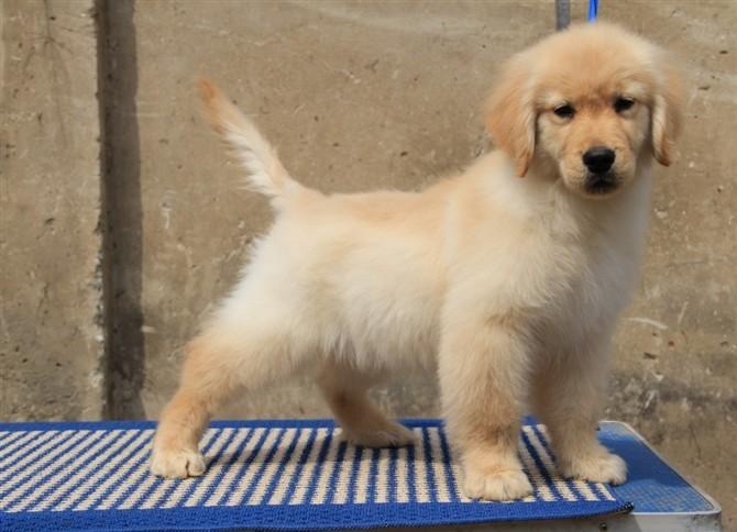 武汉哪里有金毛犬出售 武汉金毛多少钱价格 武汉金毛专卖