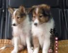 天津哪里卖纯种喜乐蒂幼犬