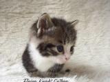 矮脚猫加白虎斑,6只4短,全部正八开脸,高品质短腿
