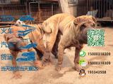 沙皮犬多少钱一只/在哪里能买到
