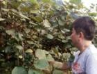 私人出租南川180亩猕猴桃基地