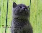 家庭猫舍纯种蓝猫大包子脸包纯种可上门挑选