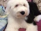 专业犬舍 纯种白头古牧幼犬出售 包犬瘟细小签健康协议