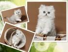 杭州南京蘇州寧波出售布偶折耳波斯短毛貓 雙飛貓