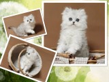 杭州南京苏州宁波出售布偶折耳波斯短毛猫 双飞猫