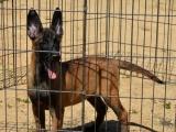 比利时马犬,后腿肌肉丰满,大腿长而有力,耳竖立,