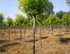定西15公分皂角树价格多少钱一棵