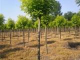 滨州20公分樱花树基地规格尺寸全