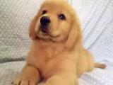 大型狗场直销纯种金毛及各种宠物狗,三包,可签协议