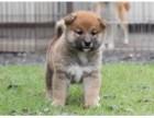 南京犬舍实体店出售 秋田幼犬 质保三个月送用品签协议