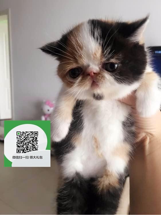 镇江哪里有卖加菲猫 镇江出售加菲猫 镇江加菲猫买卖