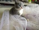 英短蓝猫蓝白
