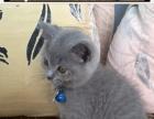 家养英短蓝猫出售,东莞全市包送。
