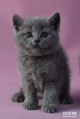 两个月大的纯种英国短毛蓝猫