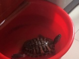 出售褐色老巴西母产龟