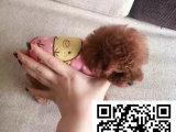 贵宾犬成年多大几斤重什么颜色最好看哪里能买到健康的贵宾