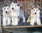 云南买阿拉斯加 昆明到哪里买好的阿拉斯加幼犬 昆明狗场在哪里
