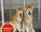 秋田犬-保纯种-保健康 疫苗驱虫均已做完 可签协议