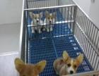 柳州什么地方有狗场卖柯基犬/哪里有卖柯基犬