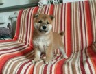 郑州哪里卖纯种柴犬 郑州哪里卖日系柴犬 美系柴犬价格