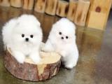 纯种 博美 幼犬出售 健康包三个月可签协议