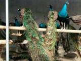 哪里有孔雀苗养殖场 孔雀价格多少钱一只