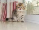 广州哪卖纯种金吉拉便宜广州宠物店金吉拉多少钱一只
