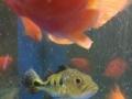 6条元宝鹦鹉鱼,两条元宝罗汉鱼,一条皇冠三间鱼