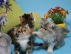 傲娇萌猫纯种加菲猫美短渐层蓝白折耳宠物猫活体幼体