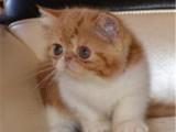 甘肃兰州黄白加菲猫到手价格