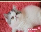 大脸超萌的净梵小加菲猫帅哥--思晴名猫坊