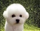 犬舍直销一精品比熊犬一签协议一包养活一三个月可退换