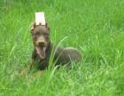 洛阳哪里出售纯种宠物杜宾犬