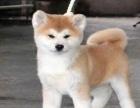 出售(柴犬 )一包养活一签协包犬瘟细小三个月