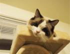武汉哪里出售纯种布偶猫纯种布偶猫多少钱一只