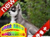 买纯种哈士奇幼犬/三年联保签协议/赠狗狗户口