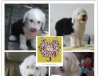 纯种英国古代牧羊犬 白头通背双蓝眼体态完美